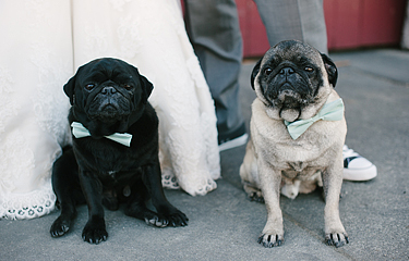 Pugs wearing bowties with bride and groom