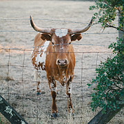 Picture of a longhorn bull at Beltane Ranch
