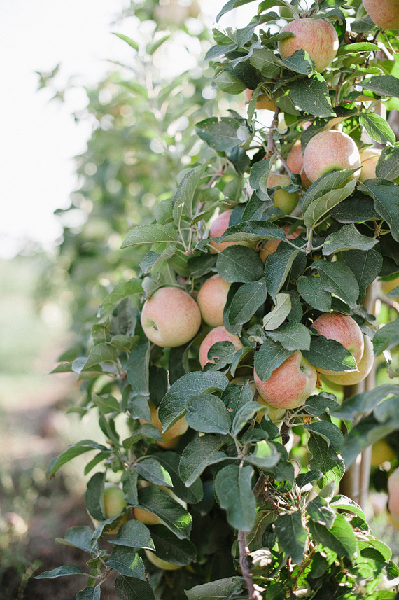 Eckert's Belleville Farm apple orchard